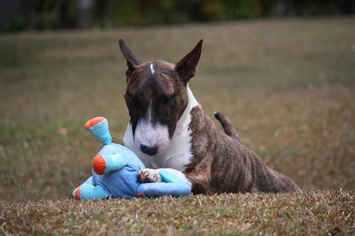 Bull terrier dog with toy